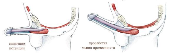 лк мышца